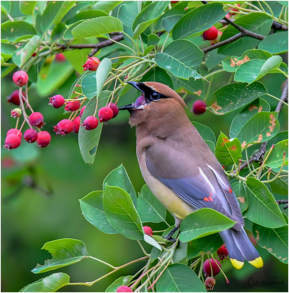 cedar waxwing in downy serviceberry